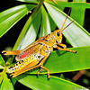 Romalea guttata, known commonly as the eastern lubber grasshopper