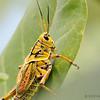 Lubber grasshopper (Romalea guttata)