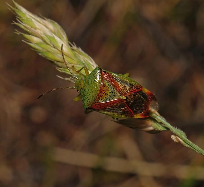 Birch Shieldbug - Elasmostethus interstinctus, July