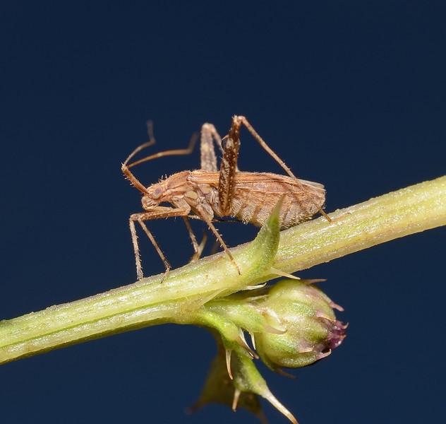Phytocoris varipes, October