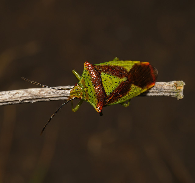 Hawthorn Shieldbug - Acanthosoma haemorrhoidale, August