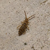 Springtail - Entomobrya sp, January