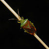 Birch Shieldbug - Elasmostethus interstinctus, July