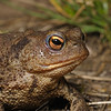 Common Toad, July