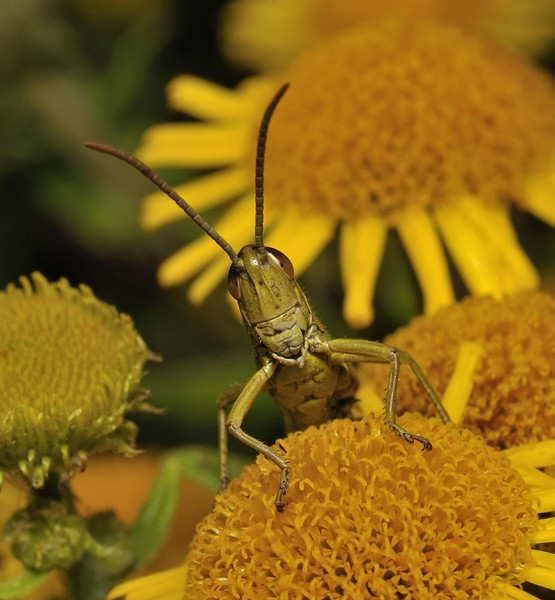 Grasshopper, August