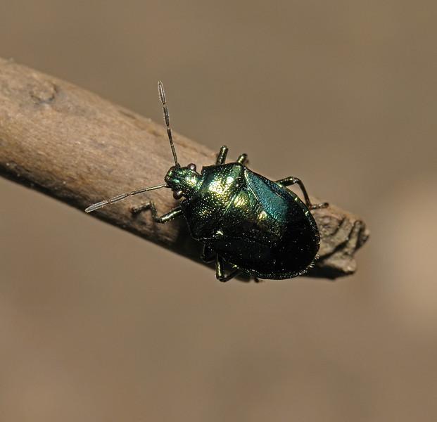 Blue Bug - Zicrona caerulea, September