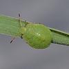 Green Shieldbug - Palomena prasina nymph, July
