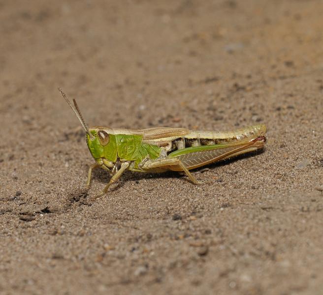 Grasshopper, July
