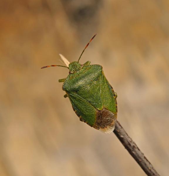 Green Shieldbug - Palomena prasina, July
