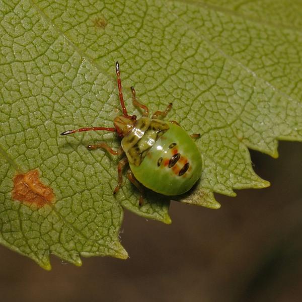 Birch Shieldbug - Elasmostethus interstinctus nymph, July
