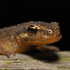 Common Newt, October