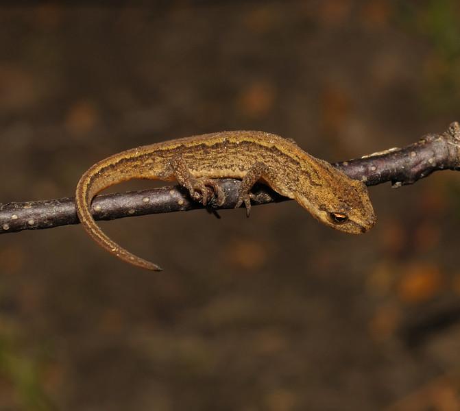 Common Newt, October