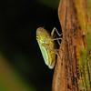 Cicadella viridis, August