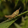 Grasshopper nymph, June