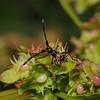 Dock Bug - Coreus marginatus nymph, July