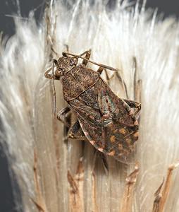 Stictopleurus punctatonervosus, October