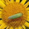 Cicadella viridis, July