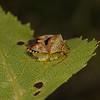 Parent Bug - Elasmucha grisea guarding eggs, June