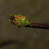 Juniper Shieldbug - Cyphostethus tristriatus, November