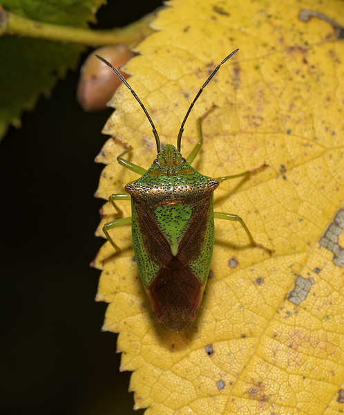 Hawthorn Shieldbug - Acanthosoma haemorrhoidale, October