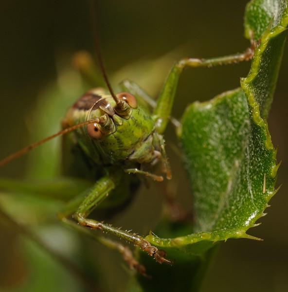 Bush Cricket, September