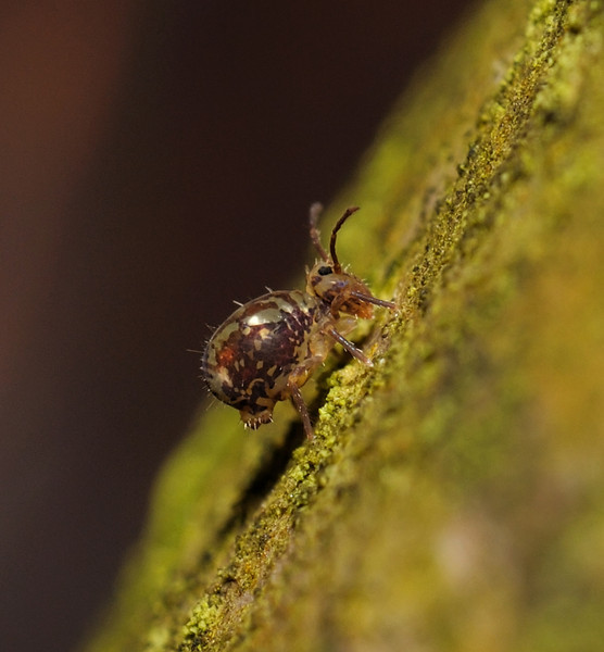 Springtail - Dicyrtomina sp, February