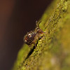 Springtail - Dicyrtomina sp, February