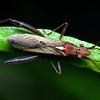 Alydidae  (Broad-headed Bugs)