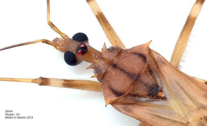 Centrogonus sp1