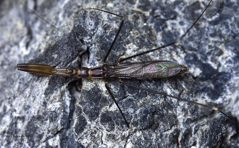 Leistarches serripes (Emesinae)