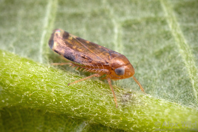 Xestocephalus