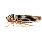 Tylozygus bifidus