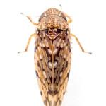 Xestocephalus tessellatus
