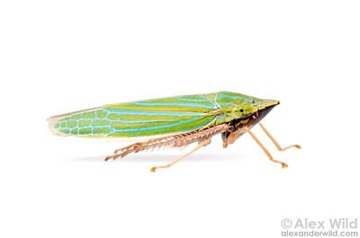 Draeculacephala robinsoni