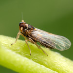 Delphacidae