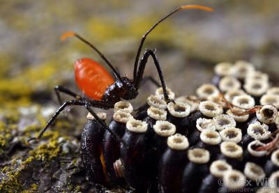 Arilus cristatus (Reduviidae) wheel bug nymph and hatching egg cluster.  Urbana, Illinois, USA