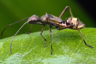 This alydid bug is a mimic of the ant Camponotus sericeiventris.  Morretes, Paraná, Brazil