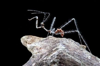 Assassin bug nymph (Reduviidae: Emesinae)  Armenia, Belize
