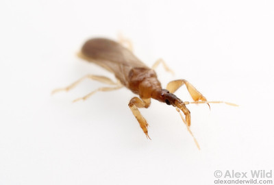 Systelloderes unique-headed bug (Enicocephalidae)  Urbana, Illinois, USA