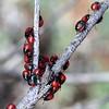 Choerocoris paganus  -  nymphs
