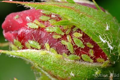 Macrosiphum rosae
