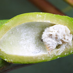 Apiomorpha