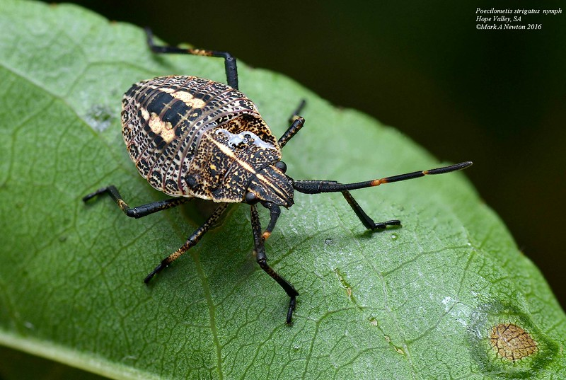 Poecilometis strigatus (Nymph)