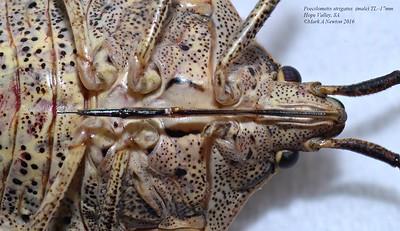 Poecilometis strigatus