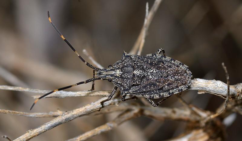 Alcaeus varicornis