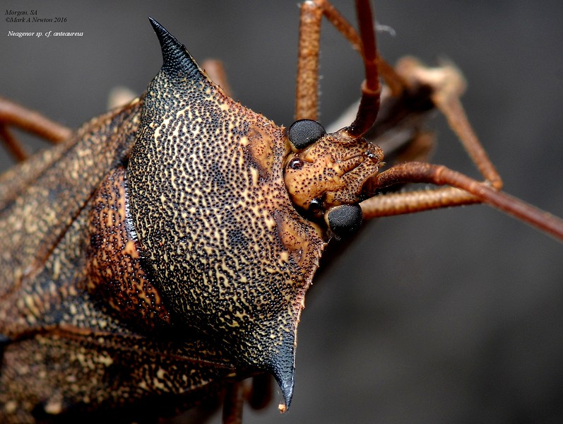 Neagenor sp. cf spinosus  BL~20mm