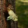 Emerging Annual Cicada