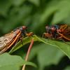 Seventeen Year Cicadas