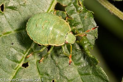 Hemiptera - Heteroptera - Bugs