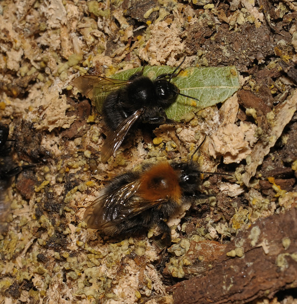 Bombus hypnorum, July